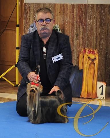 Descarada de Coramonte. 15 meses.  Exte. Monográfica Club Español de Yorkshire terrier 2016