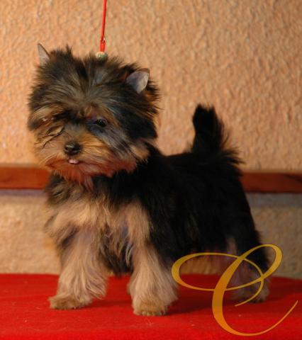 Pequeña cachorrita de Yorkshire terrier.  3  meses