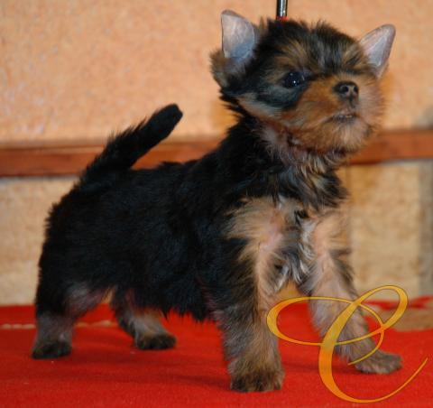 Yorkshire terrier cachorro, macho. Muy prometedor. 2 meses