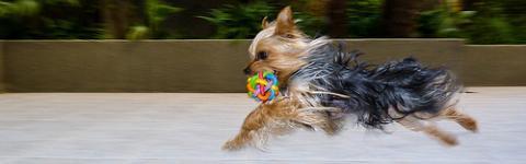 Polémica de tamaños en Yorkshire Terrier